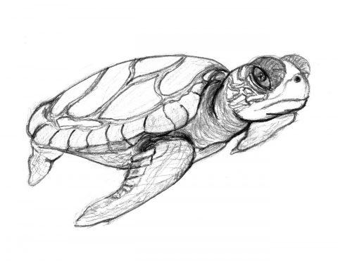 Imagens de tartarugas para imprimir e colorir - 25