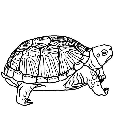 Imagens de tartarugas para imprimir e colorir - 5