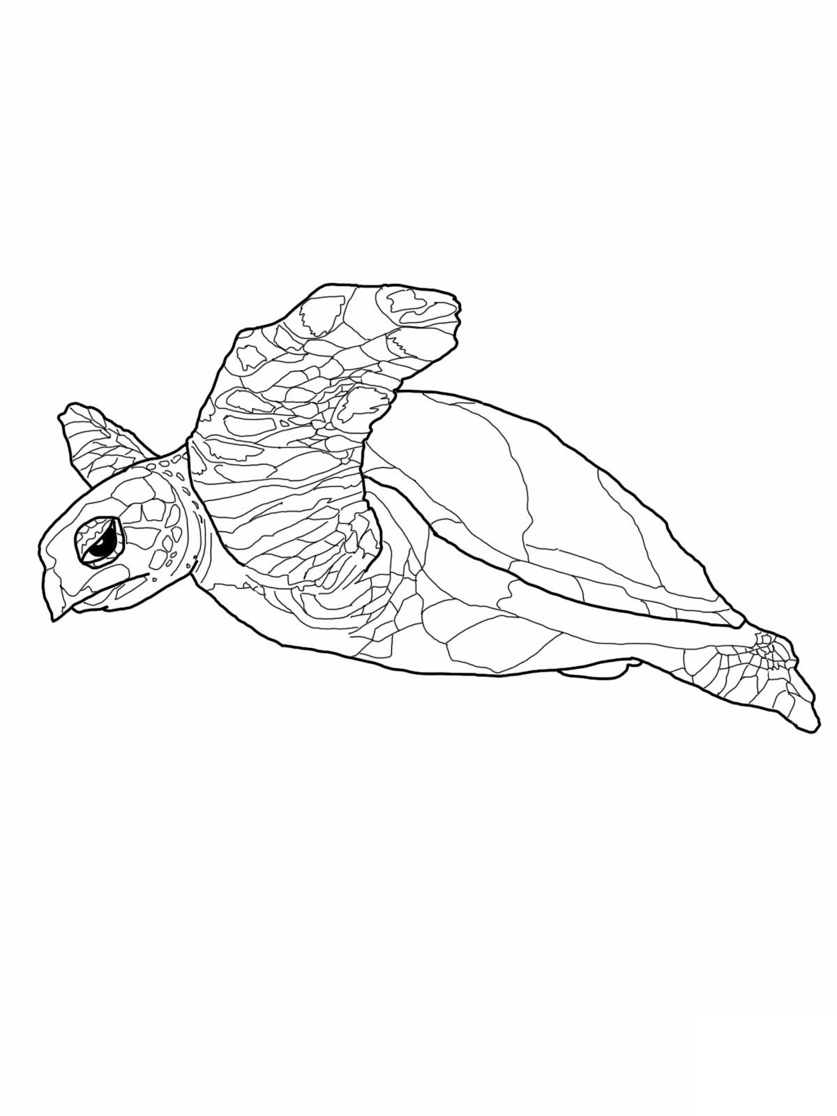 Imagens De Tartarugas Para Imprimir E Colorir Educa 231 227 O