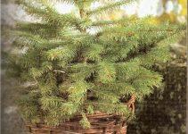 Árvore de Natal verdadeira