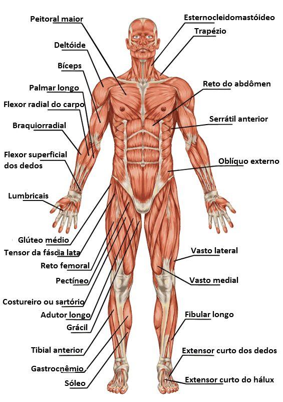 Imagens Do Corpo Humano Para Ajuda No Estudo
