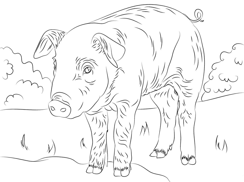 Desenhos De Porcos Para Imprimir E Colorir Educa 231 227 O Online