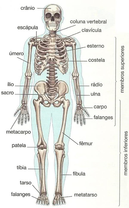 Anatomia do corpo humano - Esqueleto humano